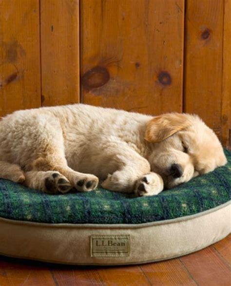 ll bean golden retrievers best 25 golden retriever price ideas on sleeping puppies adorable