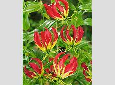 Gloriosa Lily - 3 bulbs 1 800 Flowers Reviews