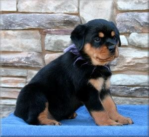 rottweiler puppies for sale kansas city rottweiler puppies for sale kansas city dogs our friends photo