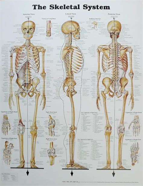 skeletal system the skeletal system anatomical chart poster 20 quot x 26 quot new skeleton anatomy ebay