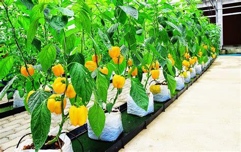 Hidroponik St4018 Buku Peluang Bisnis Sayuran Perkotaan Hidroponik T ayo menanam paprika hidroponik hidrafarm