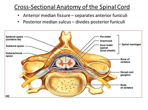 cross section spinal cord the spinal cord spinal nerves and spinal reflexes ppt
