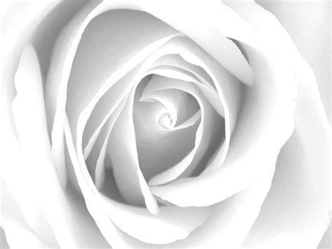 imagenes de rosas grises cuadro flores bme160001