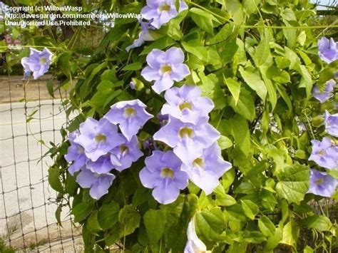 vines and climbers thunbergia grandiflora blue skyflower
