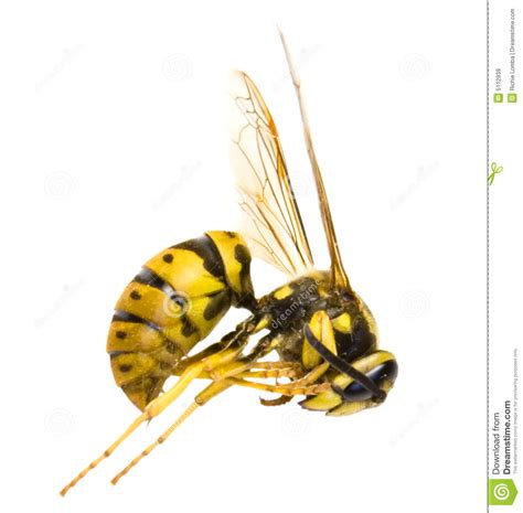 wasp images wasp royalty free stock images image 5112939