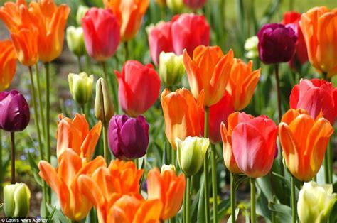 Beli Bibit Bunga Tulip seven million bulbs bloom to the beginning of