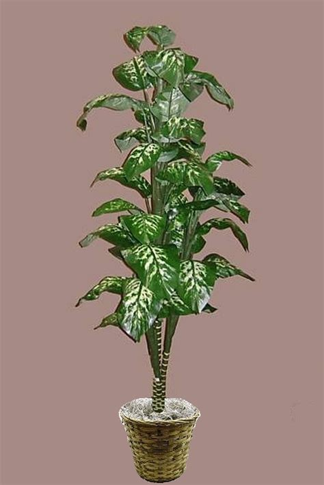 fishtail palm tree dieffenbachia palm tree monstera