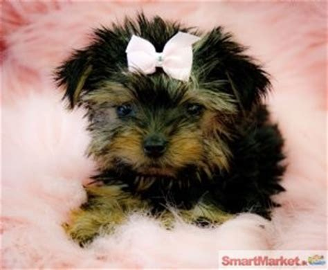 teacup yorkie free adoption teacup yorkie puppies for free adoption for sale in colombo smartmarket lk