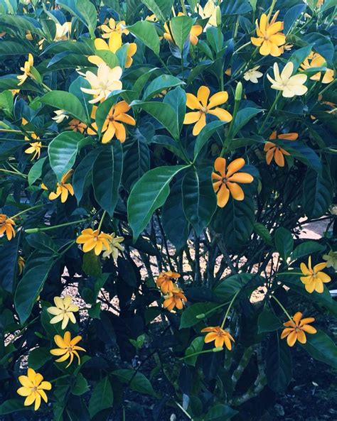 Gardenia Kula Trees Plants