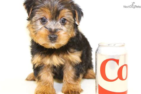 teacup puppies for sale in ohio 200 terrier yorkie puppy for sale near columbus ohio 43bff475 fe41