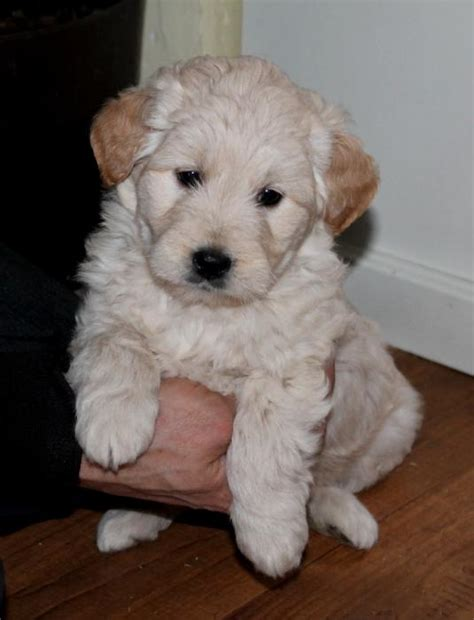 goldendoodle puppies wi goldendoodle puppies for sale in wisconsin motorcycle review and galleries