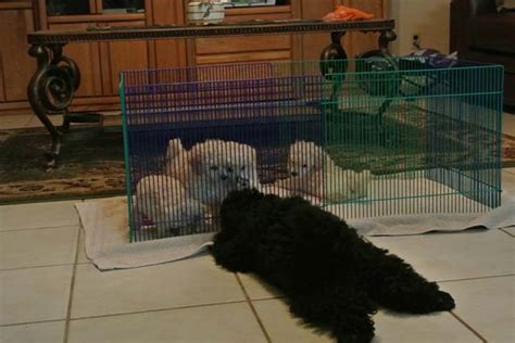 rottweiler puppies for sale in san antonio tx miniature poodle puppies san antonio photo