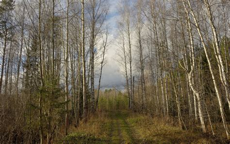 birch forest path sky wallpapers birch forest path sky