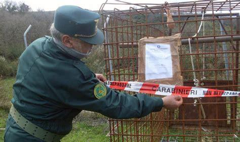 gabbie per maiali patti me sequestrata gabbia per la cattura di maiali
