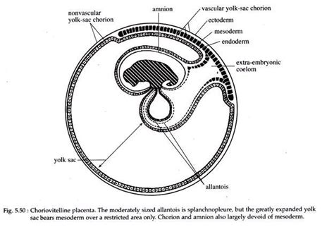 placenta amniotic sac diagram placenta meaning types and function