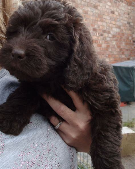 chocolate mini labradoodle puppies for sale miniature australian labradoodle puppies for sale breeds picture