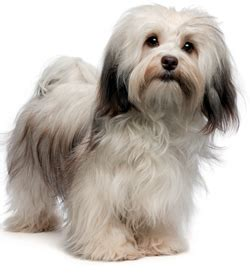 expectancy of a havanese review of havanese havanese white