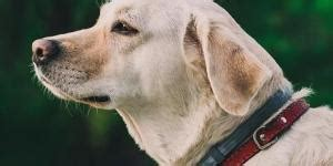 common golden retriever illnesses how much exercise do labrador retrievers need