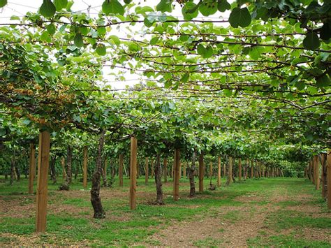 kiwi fruit trees kiwi fruit vines flickr photo