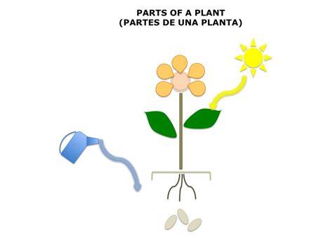 plant diagrams plant diagram no labels spanish4kiddos educational resources