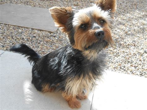 cairn yorkie cairn terrier mischling breeds picture