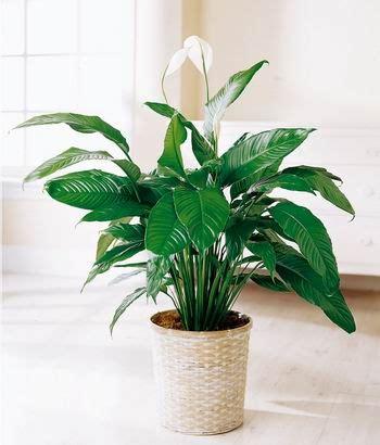 cuidado plantas de interior plantas de interior cuidado de plantas