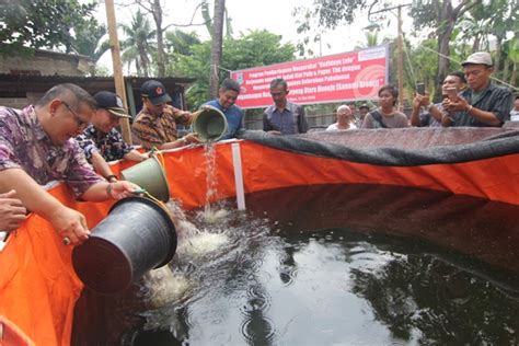 Bibit Lele Tangerang indah kiat bagikan bibit lele ke warga pakulonan palapa news