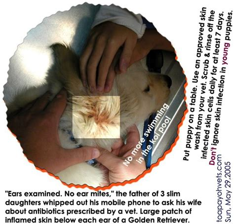 golden retriever eye infection 040706singapore miniature schnauzer pet magazine advertisements pets magazine