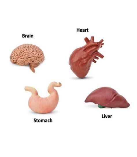 imagenes asombrosas del cuerpo humano 211 rganos cuerpo humano montessori para todos