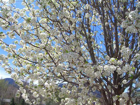 pear cleveland flowering creekside tree nursery