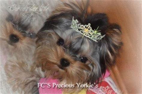 baby doll yorkies for sale yorkies for sale baby doll terriers apple yorkies tiny yorkies yorkie