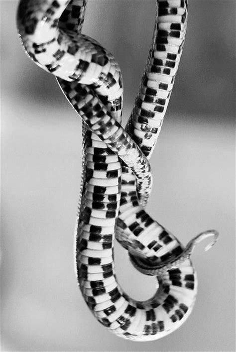 design pattern viper 17 best images about snakes on pinterest pit viper