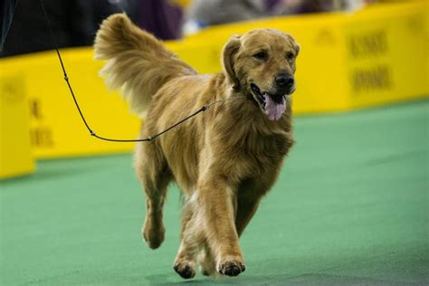 golden retriever show show requirements for a golden retriever care the daily puppy