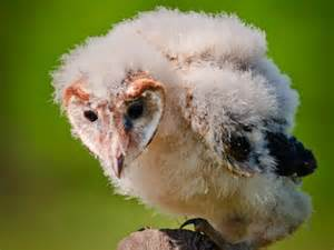 Long Barn California Barn Owl Identification All About Birds Cornell Lab Of