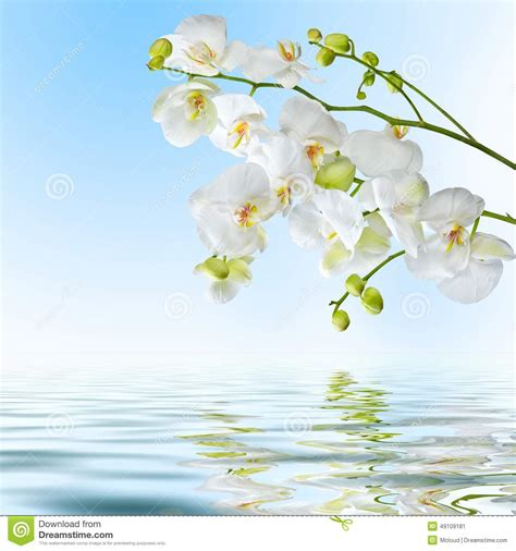 orchid blue water reflection flowers beautiful orchid beautiful white orchid flowers reflected in water stock