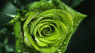 Lovely green rose wallpapers rose flower images rose pictures and