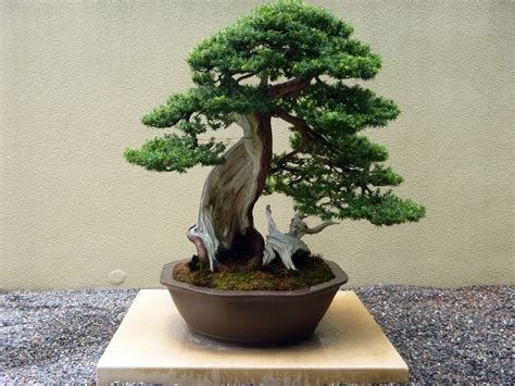 bonzi tree bonsai trees in depth introduction