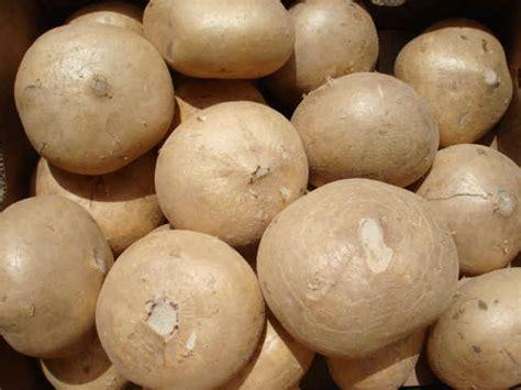 vegetables jicama health benefits of jicama inside of youtruth