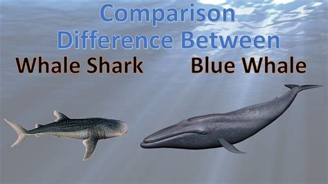 blue whale vs whale shark difference between blue whale and whale shark whale vs