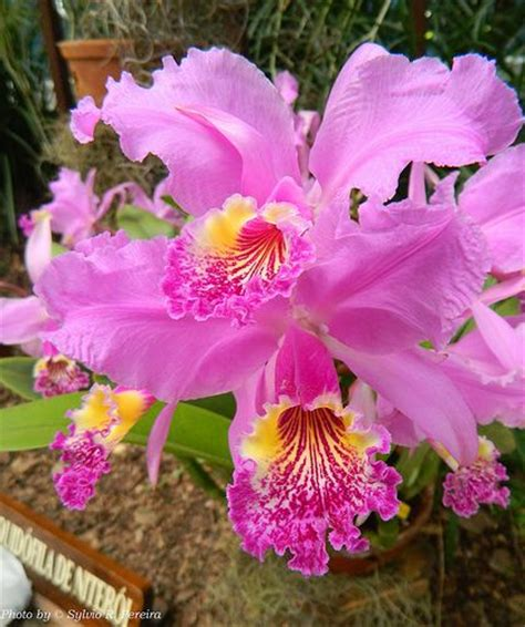 Bunga Artificial Flower Plastik Hias Anggrek Orchid Premium B 17 best images about cattleya orchid on orchid