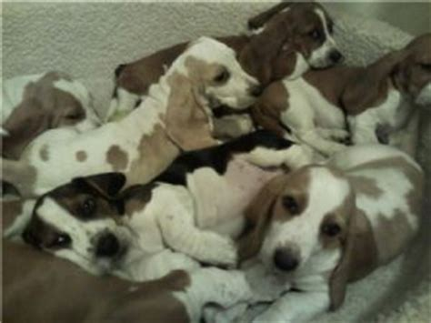 puppies for sale palm bay fl basset hound puppies in florida