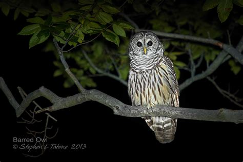 Barn Owl Noise Barred Owl Stephen L Tabone Nature Photography