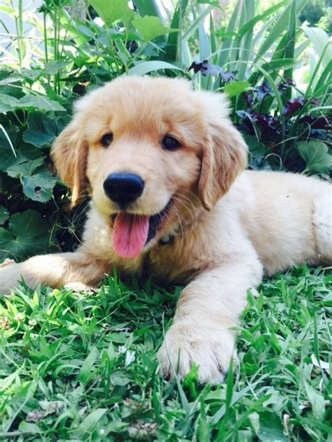 looking for golden retriever puppies best 25 golden retriever puppies ideas on golden retriever names