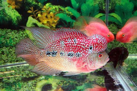 Timbangan Untuk Ikan budidaya gambar dan cara merawat ikan louhan yang benar