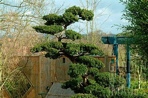taxus yew cloud pruned horticulture pinterest the o jays taxus baccata and cloud