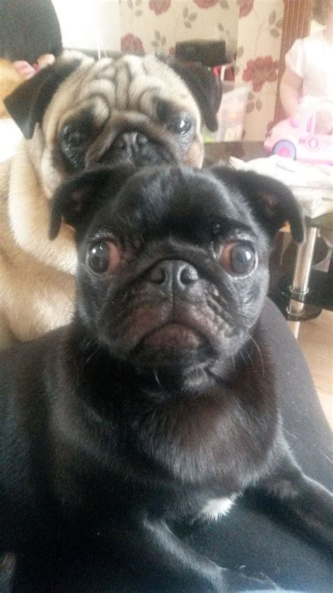 pugs for sale in sheffield pug for sale sheffield south pets4homes