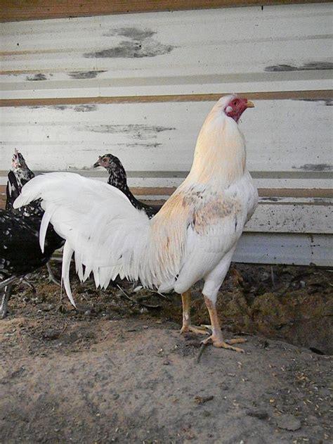 videos de gallos filipinos peleando rapido gallo de pelea texas h 214 ns pinterest