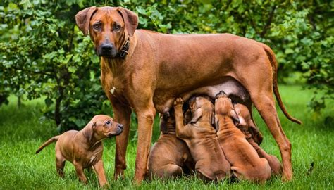 how do dogs stay for pregnancy 101 the ultimate guide for owners of dogs