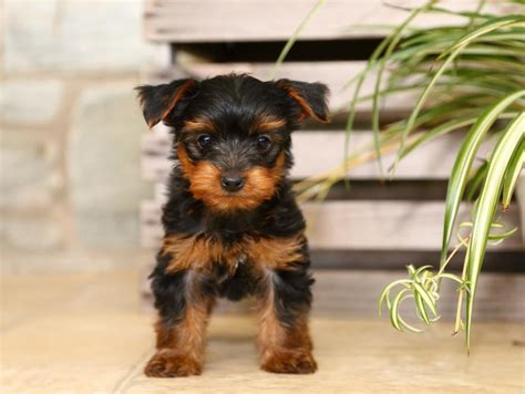 free yorkie puppies in az adorable yorkie poo pups craigspets