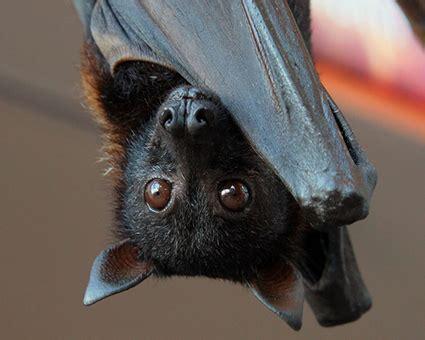 significato simbolo totem pipistrello e tatuaggio pipistrello significato simbologia e curiosit 224 sul